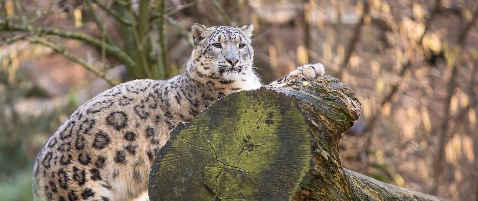 2014_02_17_pm_schneeleoparden-3