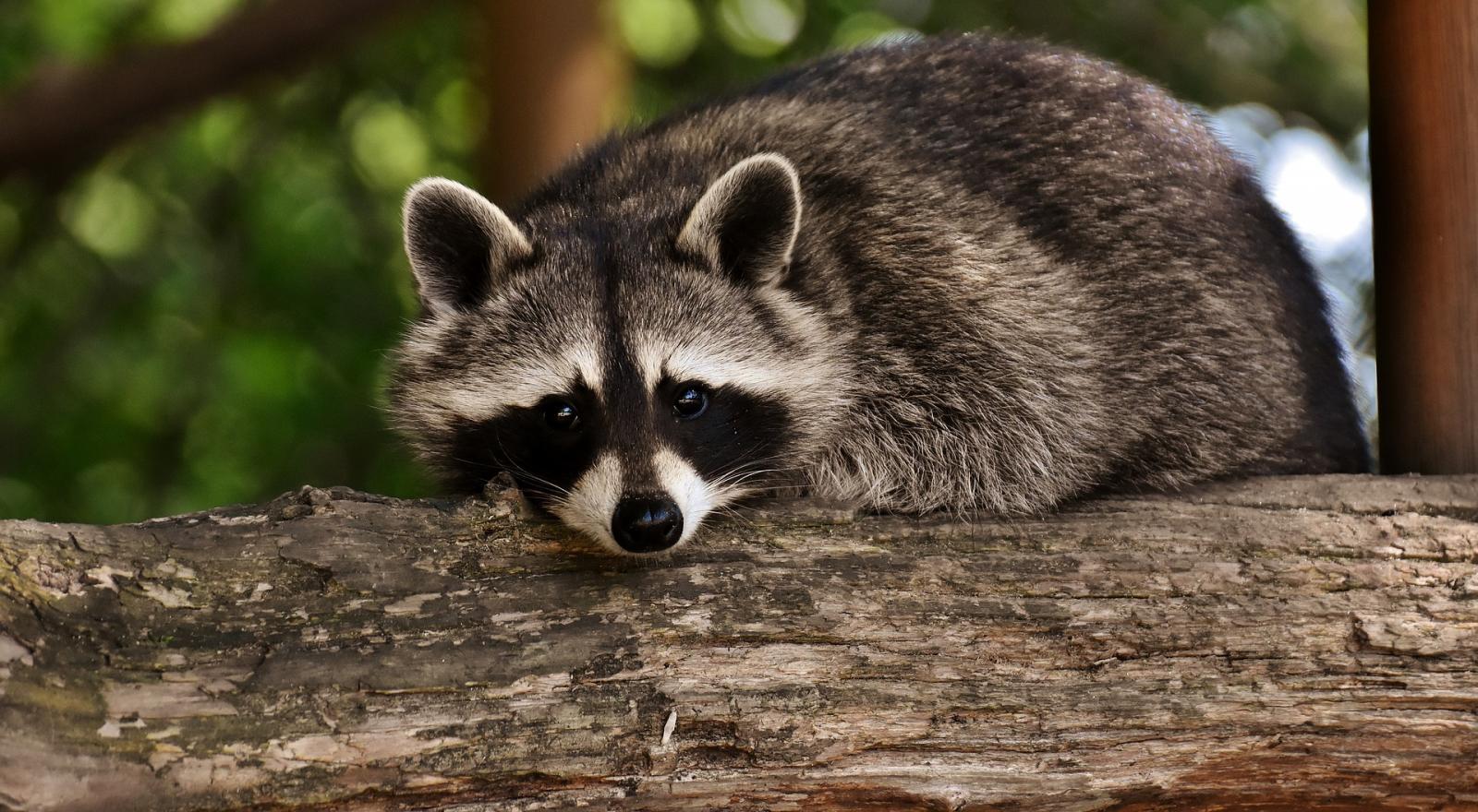 raccoon-3537985_1920