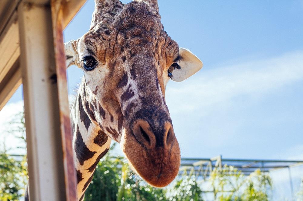 tierpark_berlin_giraffe